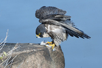Peregrine falcon wing stretch