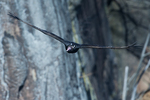 Turkey vulture in flight, birds in flight, vultures, Palisades State Park New Jersey,