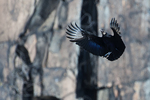 Black vulture ready to land