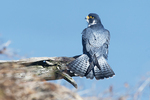 Peregrine falcon with fanned tail