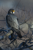 Peregrine falcon portrait in late light