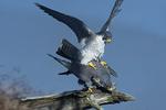 Peregrine falcons mating