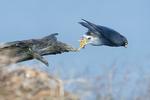 Peregrine falcon leaping