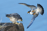 Peregrine falcons about to mate