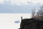 Peregrine falcons mating on cliffs with Hudson river  and New York City