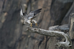 Peregrine falcon vacating cliff