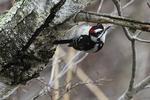 Male downy woodpecker early April