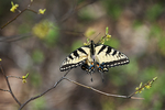 Eastern tiger swallowtail in April spring woods