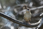 Carolina wren with nesting material in mid April