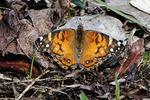 American painted  lady butterfly in mid-April