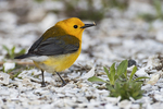Prothonotary warbler in spring migration