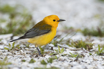 Prothonotary warbler in spring migration, birds