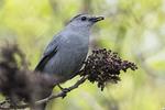 Gray catbird feeding on sumac berries