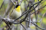 Common yellowthroat singing in early May