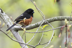 Eastern towhee in early spring