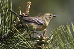 Female pine warbler during spring migration