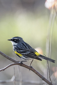 Yellow-Rumped warbler in late April