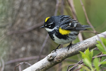 Yellow-Rumped warbler in spring
