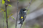 Yellow-rumped warbler in spring migration