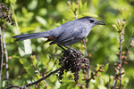 Gray catbird feeding on sumac