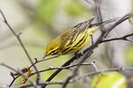 Male prarie warbler during spring migration