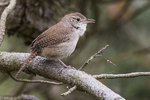 House wren in early May