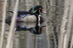 Male wood duck in early May