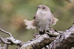 House wren on a windy spring day