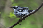 Black and white warbler after bath