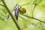 Preening black-throated green warbler