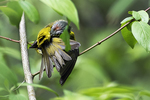 Preening nashville warbler after bath, spring warbler migration, birds, neotropical songbirds,