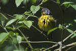 Nashville warbler after bath