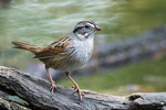Swamp sparrow in early May