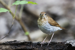 Veery in early May