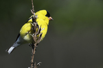American goldfinch in early May