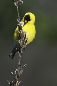 American goldfinch foraging on evening primrose in early May