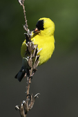 American goldfinch foraging on evening primrose seed pods in early May