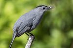 Grey catbird in early May