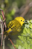 Yellow warbler vocalizing