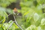 Wood thrush in spring hardwood forest