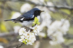 Black-throated blue warbler foraging in flowering beach plum