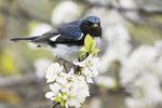 Black-throated blue warbler foraging in flowering beach plum