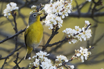 Nashville warbler In spring migration