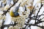 Northern parula warbler foraging in flowering beach plum