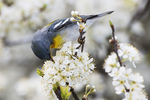 Northern parula warbler foraging in flowering beach plum