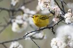 Yellow warbler foraging in flowering beach plum