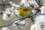 Yellow warbler foraging in flowering beach plum