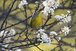 Nashville warbler In spring migration