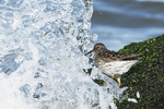 Purple sandpiper and ocean spray