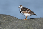 Ruddy turnstone in mid-May